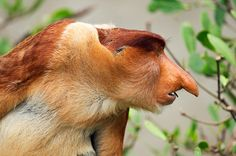 Proboscis by Anup Shah via time.com:  It is thought that the large nose that gives the proboscis its name is used to attract females. The nose can reach 7 in. (18 cm) in length. #Proboscis_Monkey #Kenya