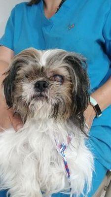 Inverness Fl Shih Tzu Meet Stray Rt 491 Lecanto Avail 7 13 Firehouse A Pet For Adoption Pet Adoption Dog Adoption Shih Tzu