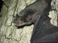 Nickajack Cave Count Shows Gray Bat Numbers Remain Strong Despite Disease Endangered Species Animals Of