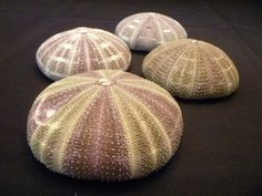Alfonso Sea Urchin 4 plus alphonso gator by RedWatchmanTreasures