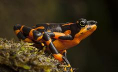 The Variable Harlequin Toad in Costa Rica provides hope against extinction | The Raw Food World