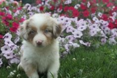 The puppy of the day is a Australian Sheherd puppy   This cute 6 week old Australian shepherd puppy is the puppy of the day.   http://www.clearlyinternet.com/