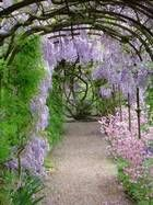 """Blue Moon"" - zone 3 hardy wisteria, I planted one here in Vermont, hope it makes it !!"