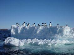 Adelie penguins cruise on an iceberg Antarctica