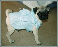 All dolled up!! #pug #doll #adorable #dress
