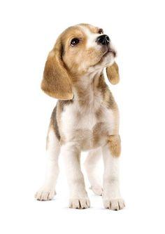Wir sind verliebt! Lebensechte Wandsticker von süßen Vierbeiner..Hunde..und dann auch noch Welpen. Wie süß! Was denkst du von diesen süßen Beagle? Zum dah