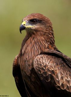 Black Kite (Milvus migrans govinda) - Adult