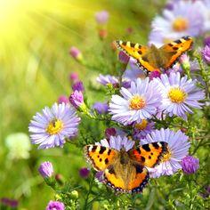 Butterflies in flower garden