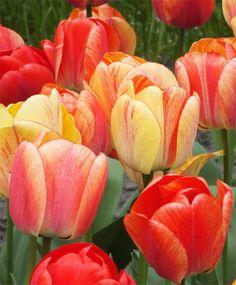 Tulip Gudoshnik - Giant Darwin Hybrid Tulips -all different, tough & persistent, large flowers a Michael King favorite