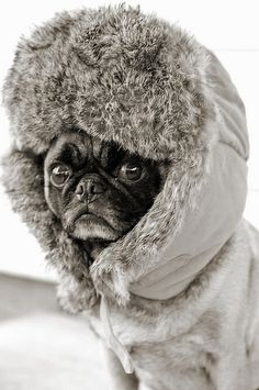 pug...ready for winter