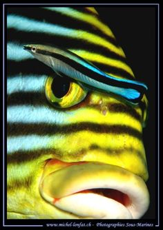 Cleaner wrasse and sweetlips