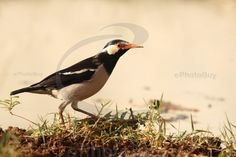 Asian pied starling stock photo