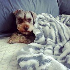 Bedtime is the best!  #schnauzer