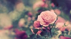 Pink Rose Facebook Cover