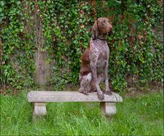 German Shorthaired Pointer.  Looks just like our Lucy!  (ChocolateLove, Posing For Posterity)