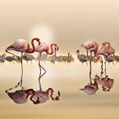 Flamingos ....by Nasser Osman