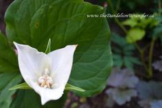 starlette s of the shade garden, flowers, gardening, Trillium Flexipes has large white flowers that bloom in mid spring They re only visible for a short time before their stalks bend and the flower disappears behind the foliage hence their common name Bent Trillium or Drooping Trillium