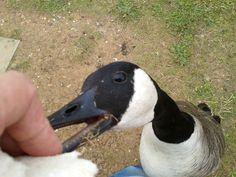 Watermead Park birdies, Leicester, England, 07/07/16