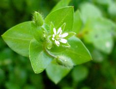 Chickweed Pesto Recipe    Herbalists and wild food foragers cherish this yummy and nutrient-dense plant.    Think of chickweed as a wild and tasty lettuce or mild-tasting spinach.