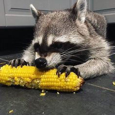 Rare Animals, Animals And Pets, Funny Animals, Strange Animals, Pet Raccoon, Cats For Sale, Animal Memes, Animal Photography, Fur Babies