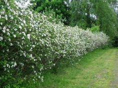 KORISTEARONIA AITATAIMI `Aronia x Prunifolia` 30-50cm | KH Puutarhakeskus | Puutarhamyymälä | Taimet verkkokaupasta | Pihasuunnittelu |