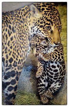 Proud jaguar mom Nindiri & her cub by Deric Wagner