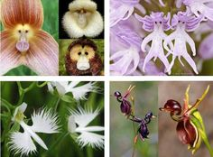 Orchids are without a doubt my favourite flowers. They're so good at looking like something else!  From top to bottom, left to right we have: Dracula simia (the monkey orchid), Orchis Italica (the naked man orchid), Habenaria radiata (the white egret orchid) and Caleana major (the flying duck orchid).
