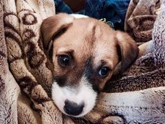 Sweetest. Face. Ever.     via Jack Russell Terrier Club of America (JRTCA), Photo Courtesy of Andrea Rumfelt Irwin