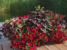 rote Pflanzen für den Balkon.