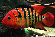 Festae   South American   American Cichlids   Fish   Smiths Aquarium