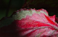 Red, jeweled comb; Barnhouse, Edgartown, Martha's Vineyard, Massachusetts, USA.  July 2013.