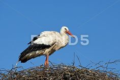 Sold today! White Stork (Ciconia ciconia) - Stock Photo | by Dennis_Jacobsen