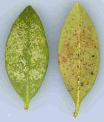 Lace Bug Damage to Azaleas and Lantana Summer Work, Gates, Gardening Tips, Insects, Landscaping, Horse, Landscape Architecture, Garden Design, Horses