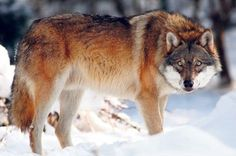 ~Found on wolveswolves.tumblr.com via Tumblr~