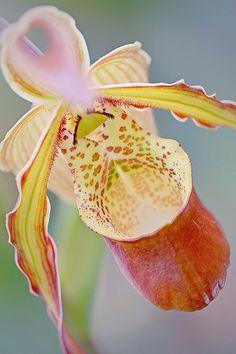 Slipper Orchid   Flickr - Photo Sharing!