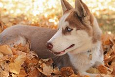 Husky in the fall animals autumn fall animal wolf animal pictures autumn pictures