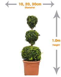 Buxus 3 balls- offering height these potted plants take up little floor space but will have a large impact on your garden