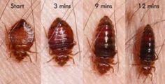 PesTech is the finest bed bugs exterminator in St. Catharines since last 20 years. Remove bed bugs are quite difficult pest problem to eradicate quickly. The best solution for bed bugs is to hire pest control company PesTech. Bed Bug Control, Pest Control, Signs Of Bed Bugs, Bug Exterminator, Bed Bug Spray, Cockroach Control, Rid Of Bed Bugs, Bed Bugs Treatment, Bed Bug Bites