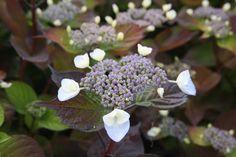 HYDRANGEA macrophylla Dolce ® Gipsy 'Dolgip' Hydrangea Macrophylla, Plants, Hydrangeas, Plant, Planting, Planets, Hydrangea