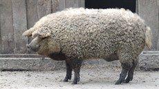 Je to ovce? Ne, plemeno prasete mangalica.