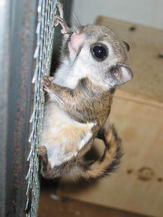 momonga (Japanese dwarf flying squirrel) I am in LOVE