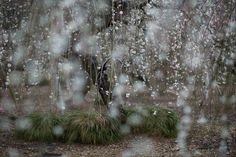 Rain of weeping plum Photo by Hidenobu Suzuki - 2016 National Geographic Nature…