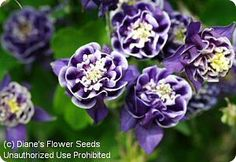 Columbine Double Winky Blue and White | Aquilegia 'Winky Double Dark Blue-White' (Columbine)