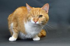11/2016sl  ***9/2015****** Meet+Eugene,+a+Petfinder+adoptable+Domestic+Medium+Hair+-+orange+and+white+Cat+|+Cincinnati,+OH+|+I+was+born+in+2011.+I+had+an+extremely+bad+eye+infection+as+a+small+kitten+and+lost+my+eye.+I+am...