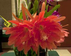 Epiphyllum Hino