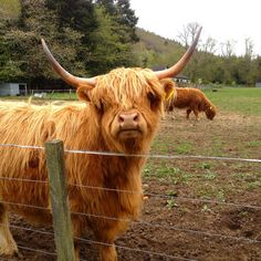Scottish Highlands, Glasgow, Scotland — by Lisa Chavis - The Travel Pharmacist. My first glimpse of the adorable Hairy Coos (Scottish cows) who live in the Highlands. Those faces stole my heart!...