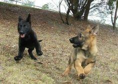 German shepherd puppies at play