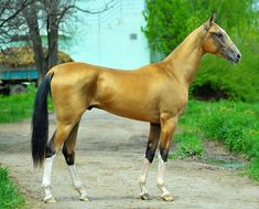 So beautiful horse. Most Beautiful Horses, All The Pretty Horses, Animals Beautiful, Akhal Teke Horses, Golden Horse, Majestic Horse, Horse Photography, Horse Breeds, Animals And Pets