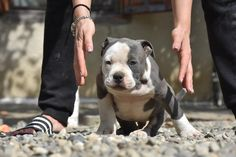 American Bully Puppies for sale from Kali and Mr.Suca - Amazing Pedigree - Excellent Temperament - Examined and Vaccinated by a Licensed Veterinarian American Bully Pocket, Pocket Bully, Puppies For Sale, Bullying, Pitbulls, Dogs, Cute, Animals, Animales
