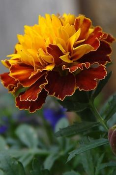 """Marigold - is a genus of herbaceous plants in the sunflower family. Marigold is also known under the name tagetes. The genus is native to North and South America, but it is grown throughout the world. The flower of marigold is golden, orange, yellow or white, with vibrant maroon highlights. The name of the plant is derived from """"Mary's Gold"""", a name that was once used to refer to Calendula. The blossom has a musky, pungent scent and it is used as a source of essential oil in the perfume…"""